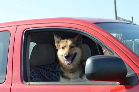車に乗った犬