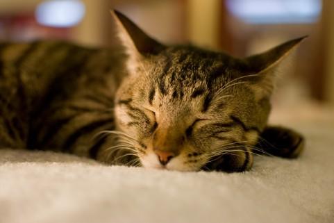 気持ちよく寝ているネコ
