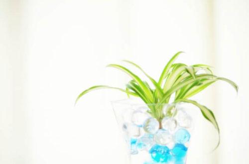 オリヅルランの鉢植え
