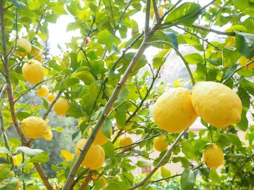 レモンがたくさん実っている