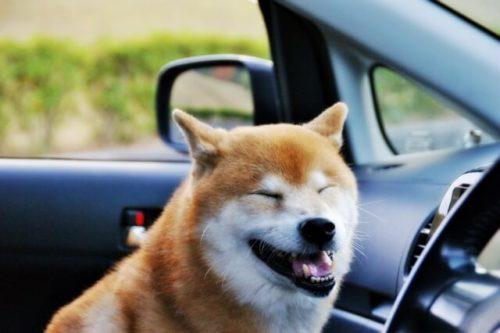車の中にいる柴犬