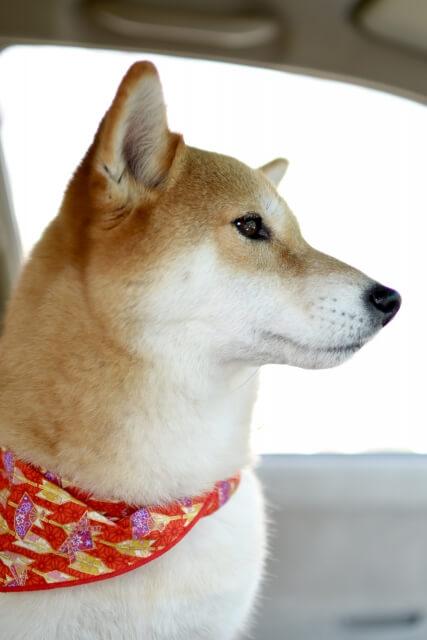 車の中に乗っているスカーフをした日本犬