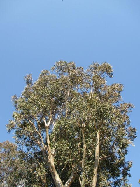 ユーカリラディアタの木