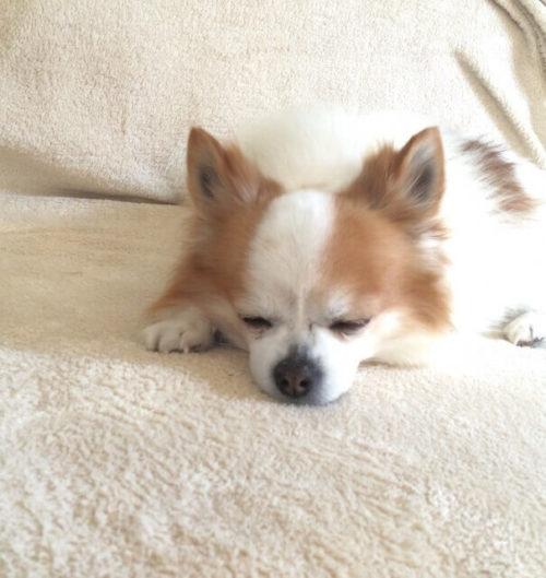 寝心地のいいマットレスで寝ているチワワ