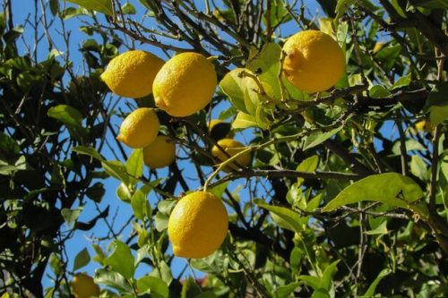 体内時計を正常にする効果のあるレモンが木にたくさん実っている