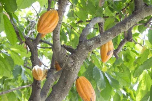 ココアの原料であるカカオの実がたくさんなっている木