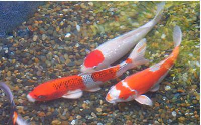マリホ水族館で飼育されている鯉
