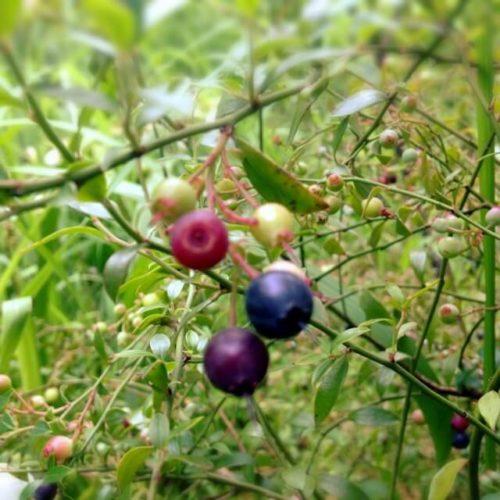 スマホえんきんに含まれている「ビルベリー」が木に実っている