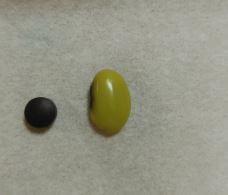 スマホえんきんのサプリ1粒と青大豆の大きさを比較した様子