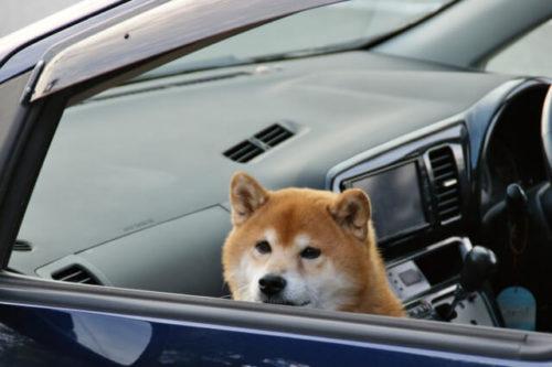 車に慣れている柴犬が車に乗っている