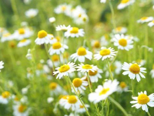 花粉に効果のあるハーブであるカモミールがたくさん自生している