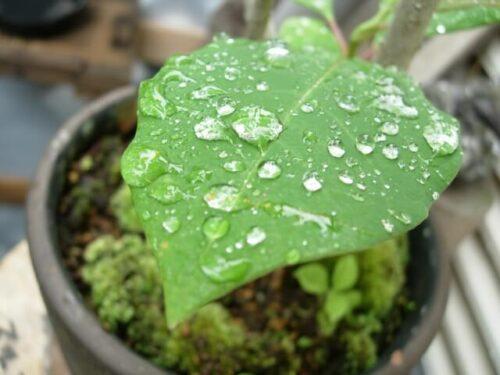 雨に濡れたベランダの植物の葉